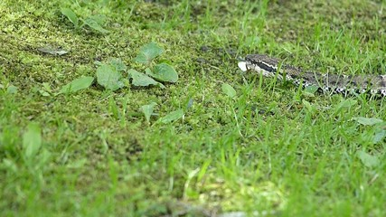 危険なヘビ。毒をもつマムシ_5