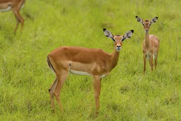 Female Impala in the wilderness
