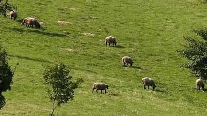 羊の放牧_4