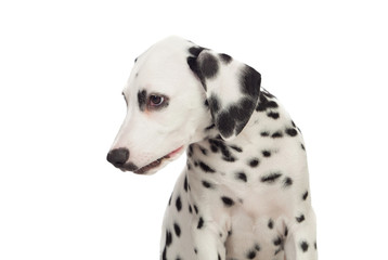 Beautiful Dalmatian with black spotted