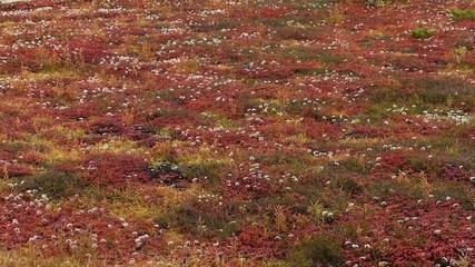 火山の麓の紅葉した高山植物_1