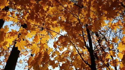 beautiful autumn yellow leaves - slider dolly shot