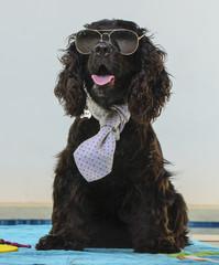Cocker in cravatta e occhiali da sole