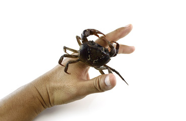 Crab in hand on white background