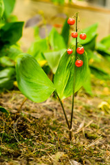 Lily of the valley's fruits