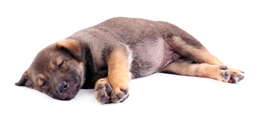 Sleeping puppy isolated on white
