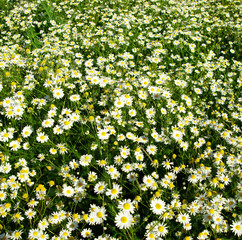 camomile background