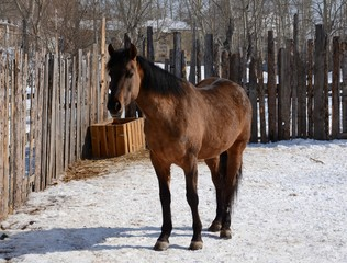 The bay horse, standing in the corral