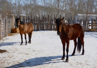 The bay horses, standing in the corral