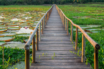 Brazilian Panantal, Victoria Regia plant and wooden footbridge