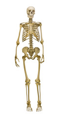 old human skeleton illustration on white background