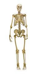 old human skeleton illustration on white background