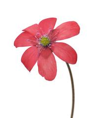spring light red single flower on white