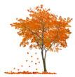 isolated single orange maple with falling leaves