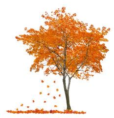 isolated single orange maple with falling leaves