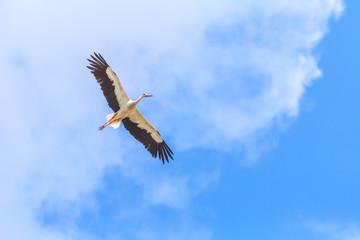 Flying White Stork on vivid blue sky background