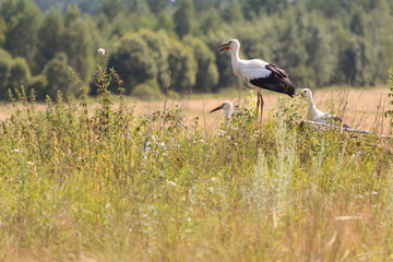 Young White Storks on field and forest background