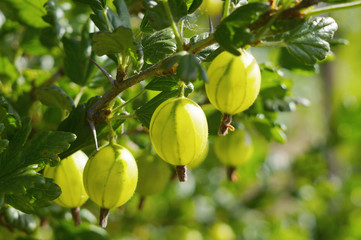 Gooseberries on branch close-up