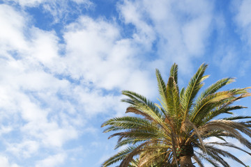 Green palm tree on blue sky with clouds background