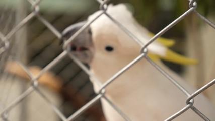 Sulphur-Crested Cockatoo, Cacatua Galleria. Parrot. Slow Motion