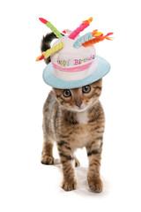 bengal kitten birthday