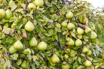 Voller Birnenbaum im Oktober