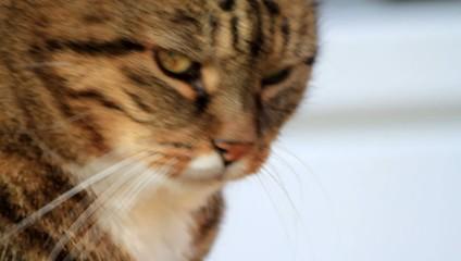 Katzenkopf getigert in Nahaufnahme