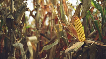 Ripe maize on the cob in cultivated agricultural corn field read