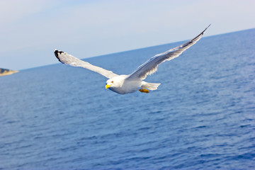 Seagull above the sea