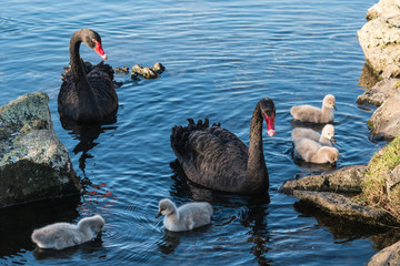 pair of black swans with cygnets
