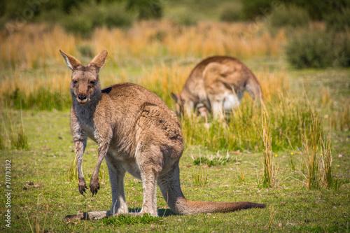 Fotobehang Kangoeroe Grazing Kangaroos