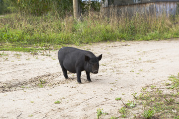 Чёрная свинья гуляет по деревне