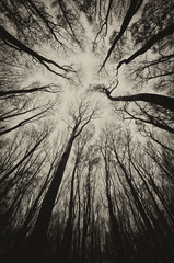upward view in a dark spooky forest sepia