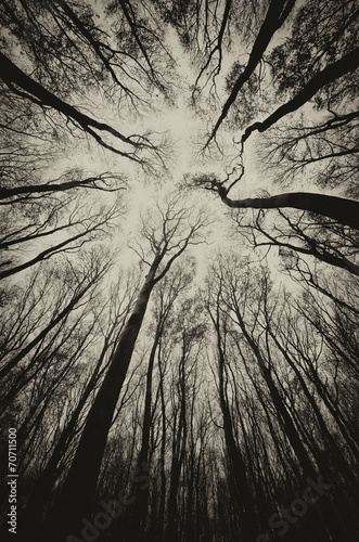 upward view in a dark spooky forest sepia - 70711500