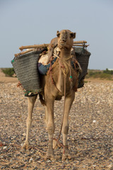 Camel on the beach in Morocco