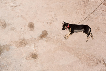 Chained wild dog sleeping in the sun, Morocco