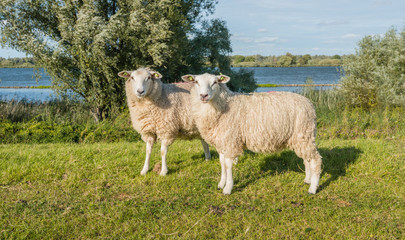 Two earmarked sheep on a sunny day at the end of the summer seas