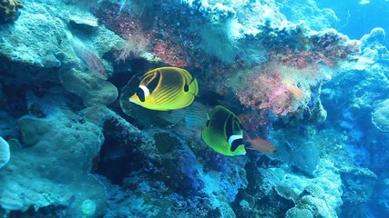 Butterflyfish in the coral reef