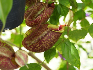Nepenthes tropical carnivore plant
