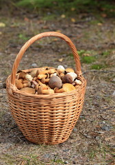 basket full of edible mushrooms