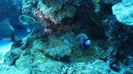 Emperor angelfish in the coral reef
