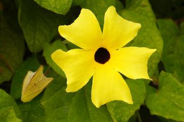 Schwarzäugige Susanne als Blüte und Blütenknospe mit Tau