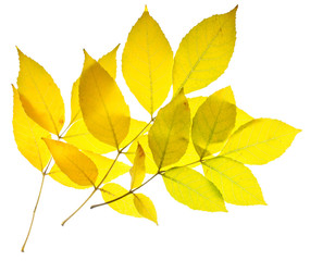 Yellow ash leaves