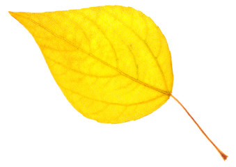 Yellow poplar leaf isolated