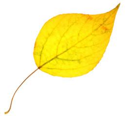 Yellow poplar leaf isolated