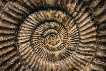 Close up of a prehistoric snail fossil