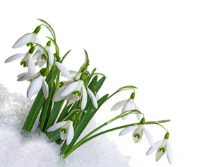 snowdrops in snow  isolated on white