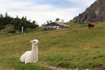 Lama mit Berghütte