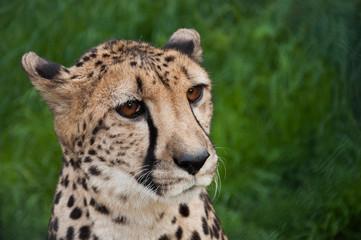 Cheetah head close up