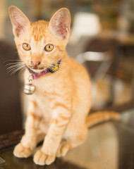 Cute shorthair kitten with collar and bell